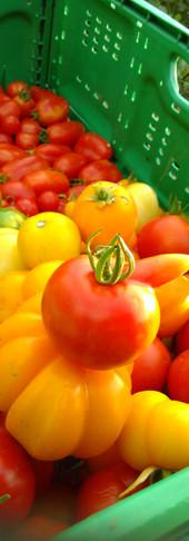 Die ersten Tomaten zeigen in die Zukunft.