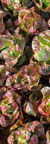 Rotes Salatmeer