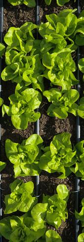 grünes Salatmeer