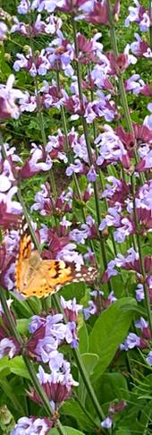 Schmetterlings Festmahl