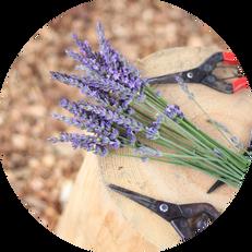 Lavender 2.png