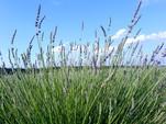"""""""Sennen no sono"""" lavender field"""