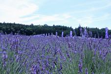 """""""Sennen no sono"""" lavender garden"""