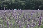 千年の苑ラベンダー園