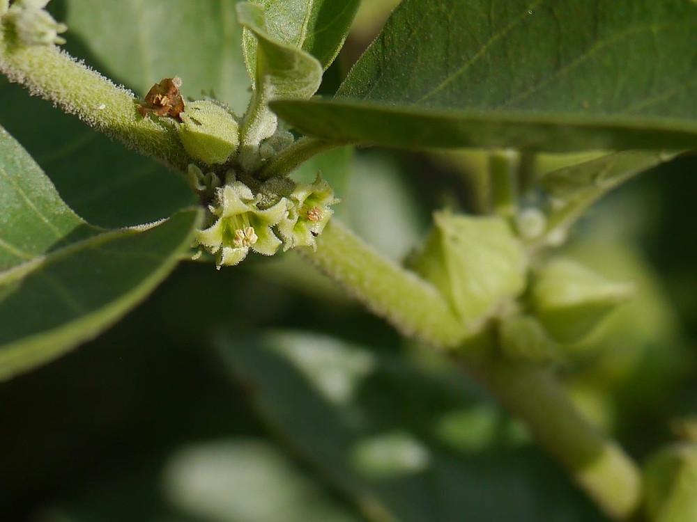 an Ashwagandha plant