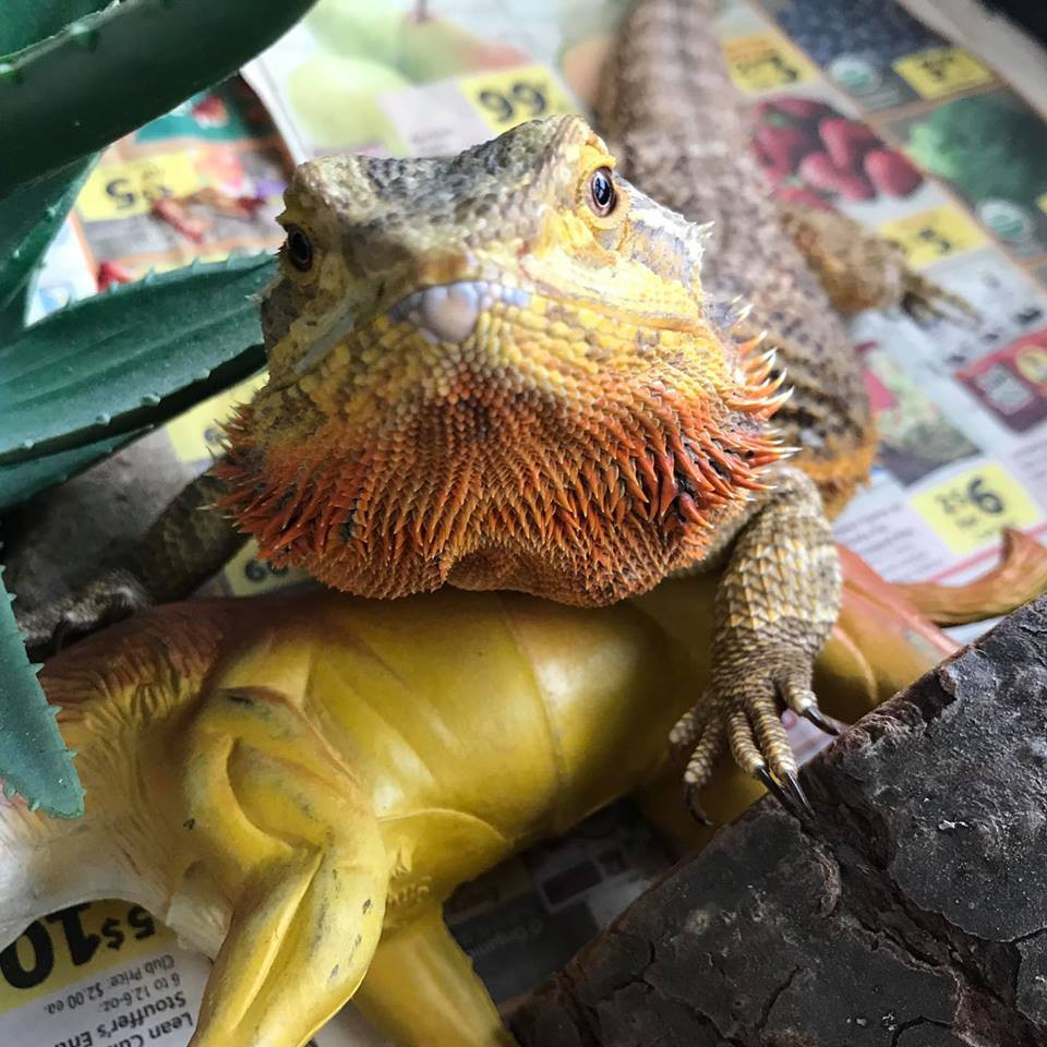 Yona the lizard is a rescue lizard who found her forever home with Teresa.