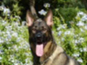 Deutscher Schäferhund im Gras