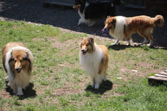 unsere Collies.....