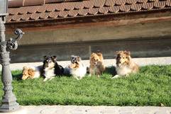unsere Shelties