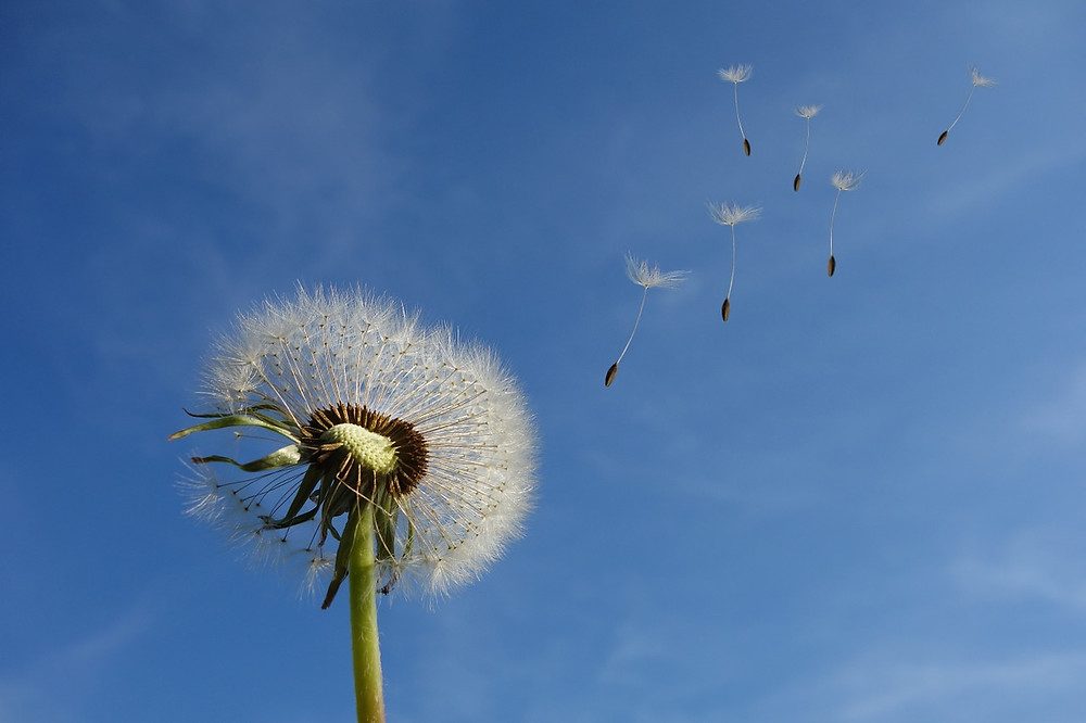 Dionne White Blog Dreams and Dandelion fluff