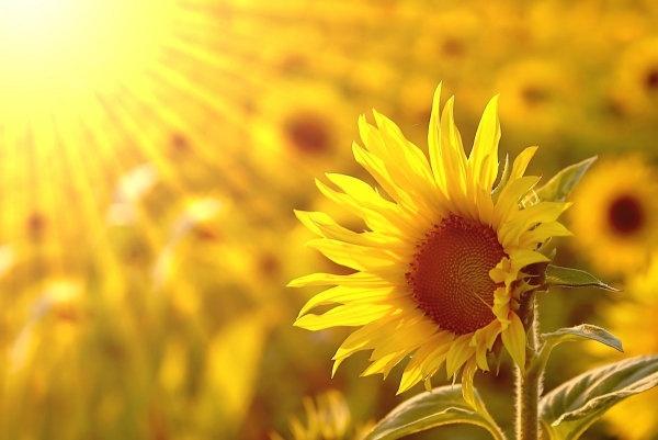 beautiful_sunflower_hd_picture_3_166950.jpg