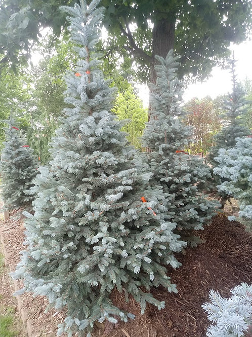 "Colorado Spruce ""Fat Albert"""