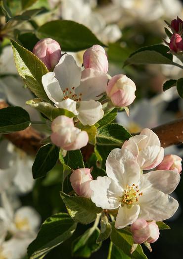 blossoms close up.jpeg