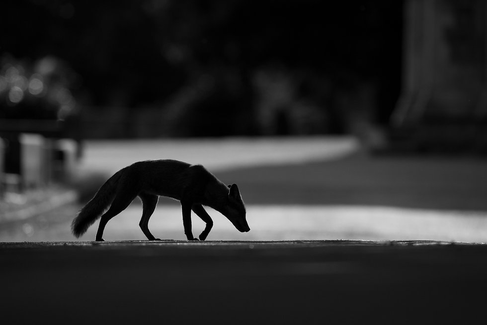 Red_Fox_MG_1159.jpg