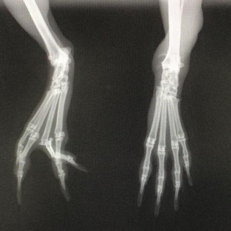 ウサギの中足趾節関節脱臼
