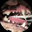 動物病院 歯石除去.png