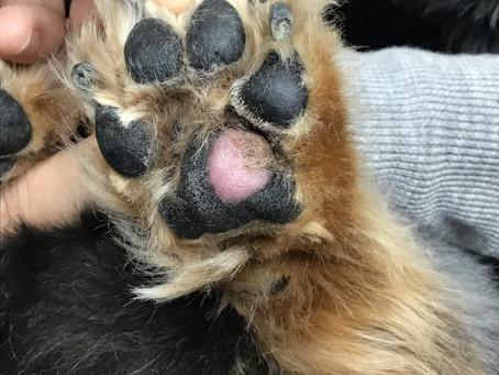犬の肉球のリンパ腫