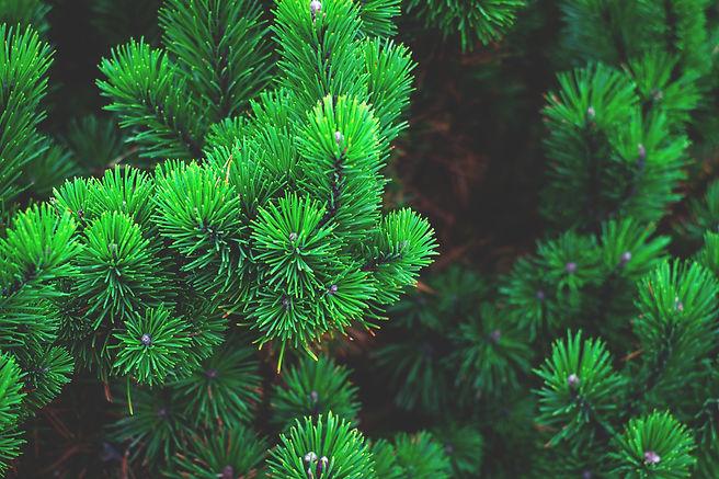 pine-1884335.jpg