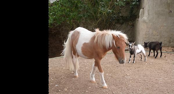 Poney et chevreau dans la cour du gite canin à la ferme