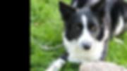 chien noir et blanc toilettage.png
