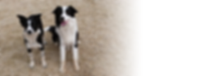 Border collie au gite canin