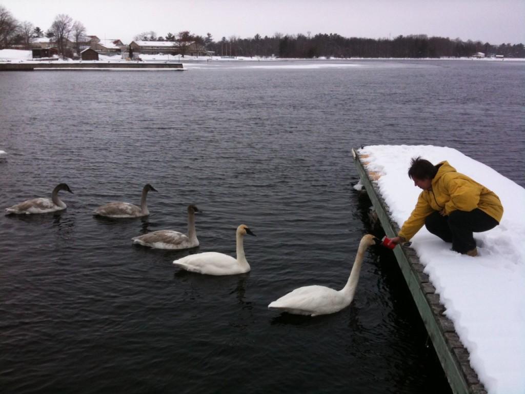 Swans-1024x768