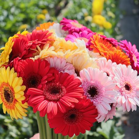 SOLIDARITE COVID19 : BOUQUETS DE GERMINI (30 fleurs) OU DE GERBERA(20 fleurs)A 5€