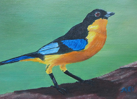 Blue Winged Mountain Tanager