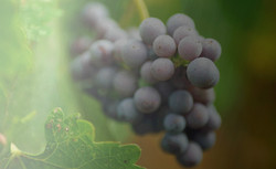 Grapes are harvested by hand