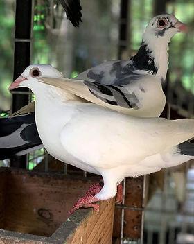 pigeon_g2gfarm.jpg