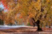 yellowtree.jpg