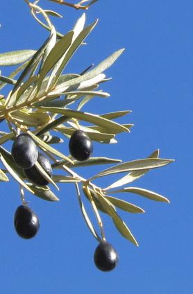 Olives.png