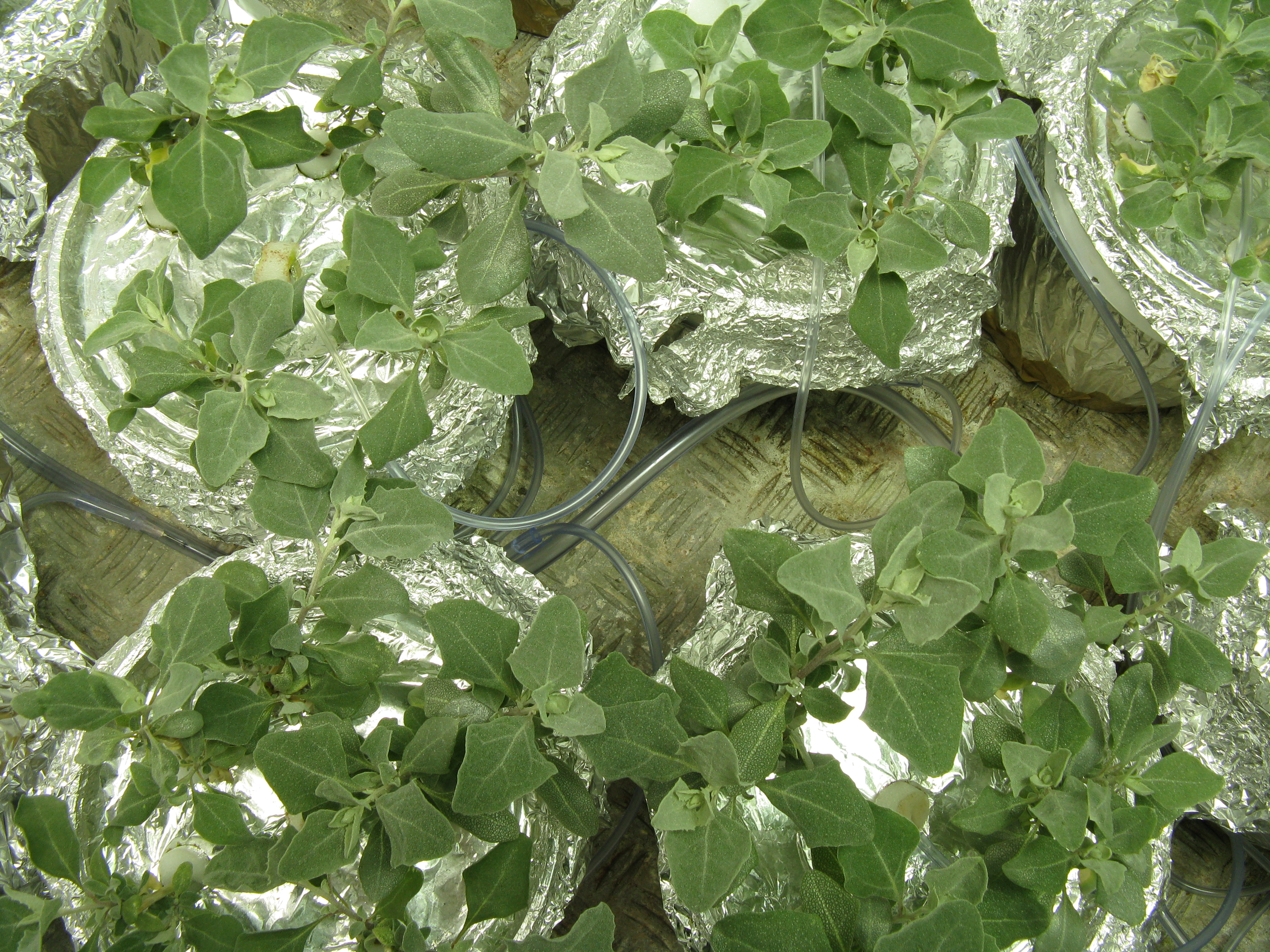 Growing Atriplex in hydroponics