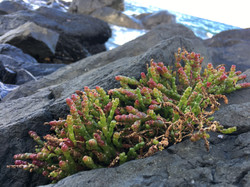 Halophyte growing at the beach