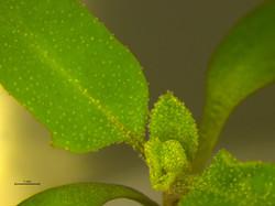 Salt bladders in quinoa leaves
