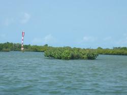 Mangrove submerged by seawater