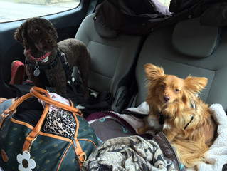 Resan med hundarna i min lilla bil från Schweiz till Gotland-The trip with the dogs in my little car