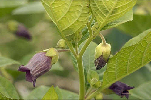 Deadly Nightshade Seeds