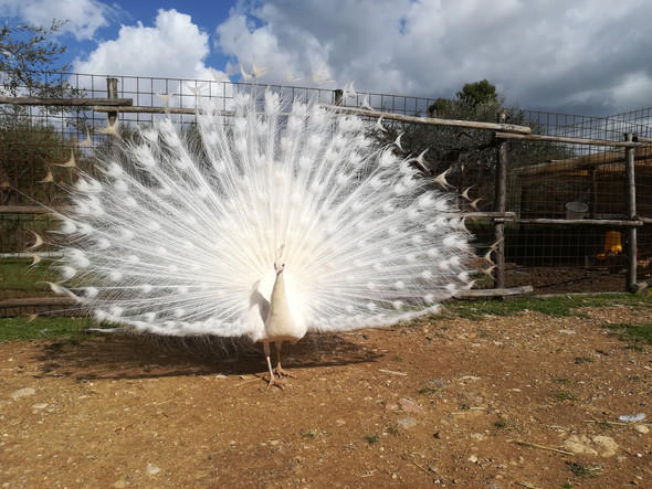 Il Pavone Bianco in Parata