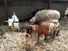 Caprette Tibetane e Pecore Nane d'Ouessant