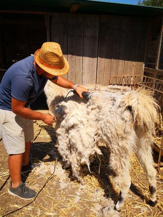 La tosatura e la lana