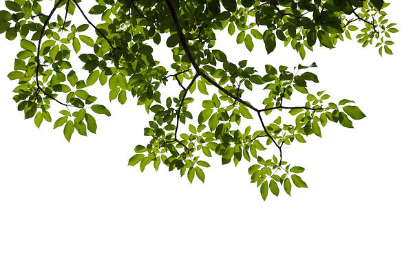 green tree branch isolated on white back
