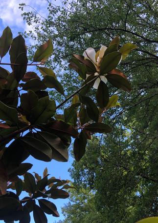 allee caradoc-magnolia-jadin des barthes
