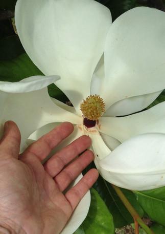 magnolia jardin des barthes