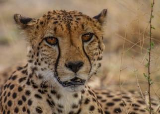 Gepard: Ute von Ludwiger