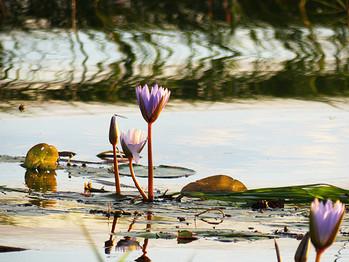 Wasserlilien am Chobe