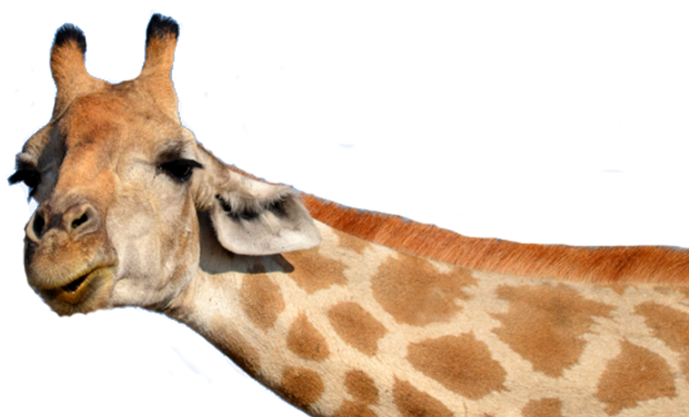 Giraffe trans halb 2.png