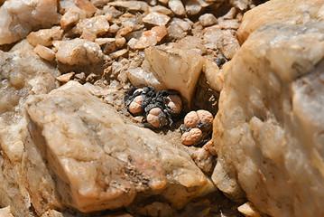 Lithops in der Namib