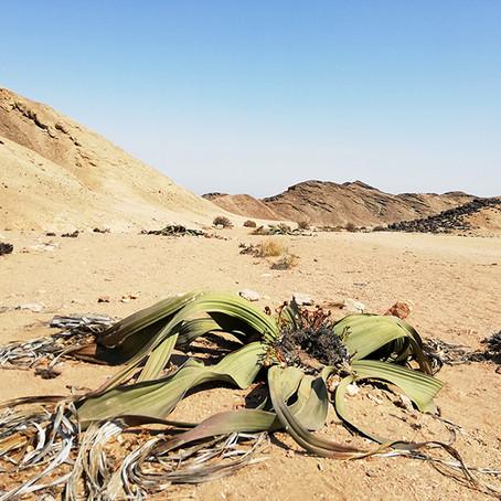 Botanik: Die Wunder der Namib