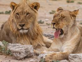 Löwen in Etosha: Ute von Ludwiger